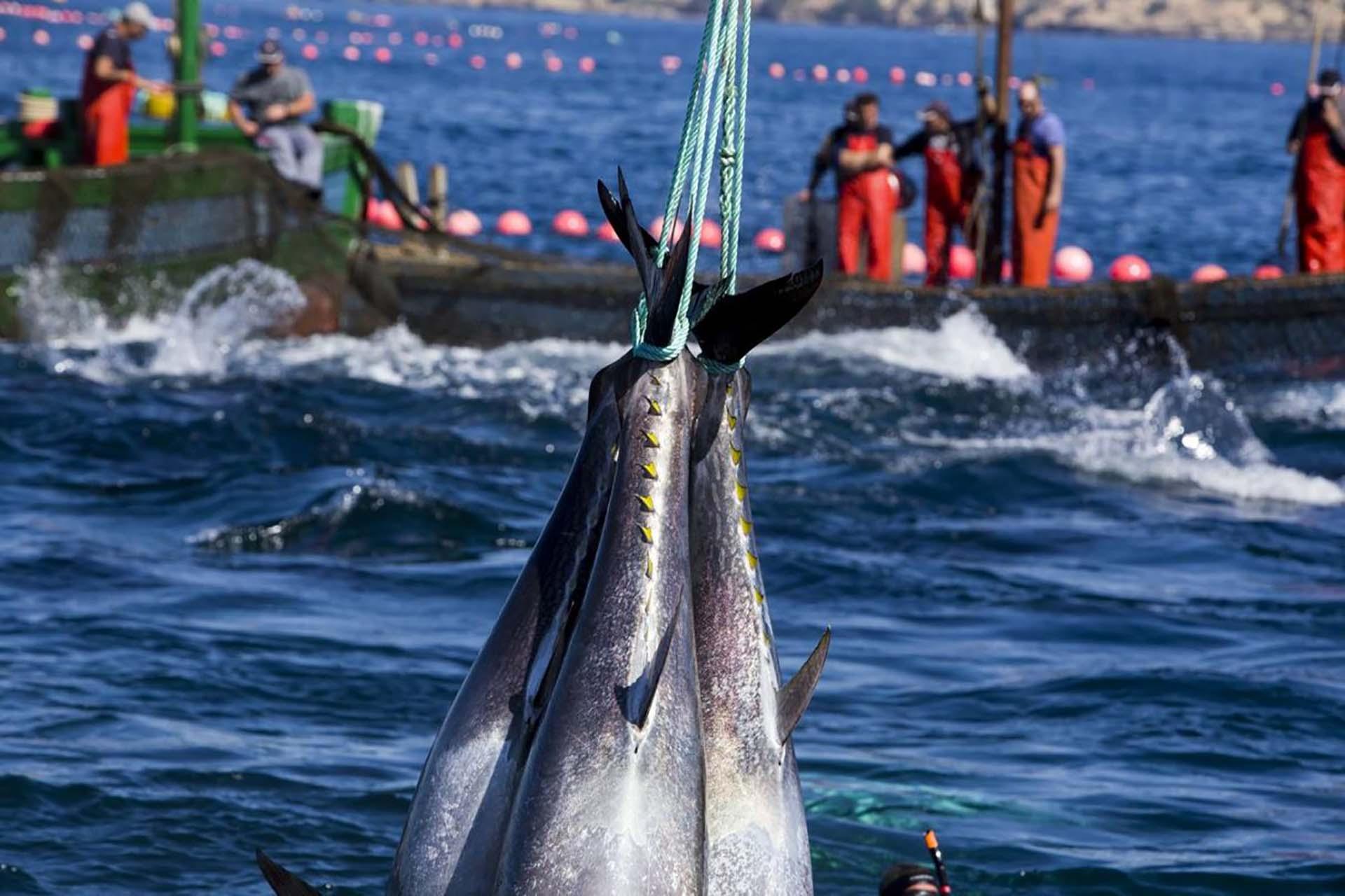 El DNI del atún de almadraba